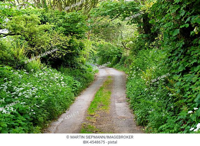 Small country road with hedges, near Falmouth, Cornwall, England, United Kingdom