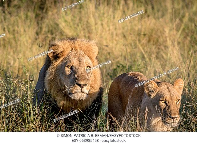 Lion couple in the high grass in the Chobe National Park, Botswana