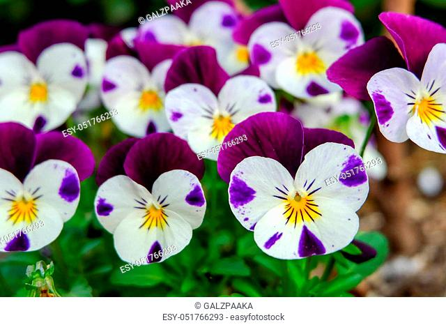 beautiful violet flowers, viola tricolor pansy blossom tree branch in garden. natural spring season festival background