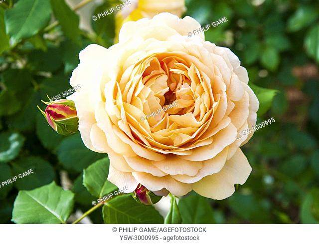 Bred by David Austin, 'Golden Celebration' has been described as one of the finest English Roses