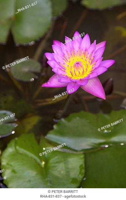 Blue star water lily blue lotus flower Nymphaea stellata, national flower of Sri Lanka, Asia