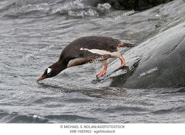 Adult gentoo penguin Pygoscelis papua returning and coming from the sea at Booth Island, Antarctica, Southern Ocean