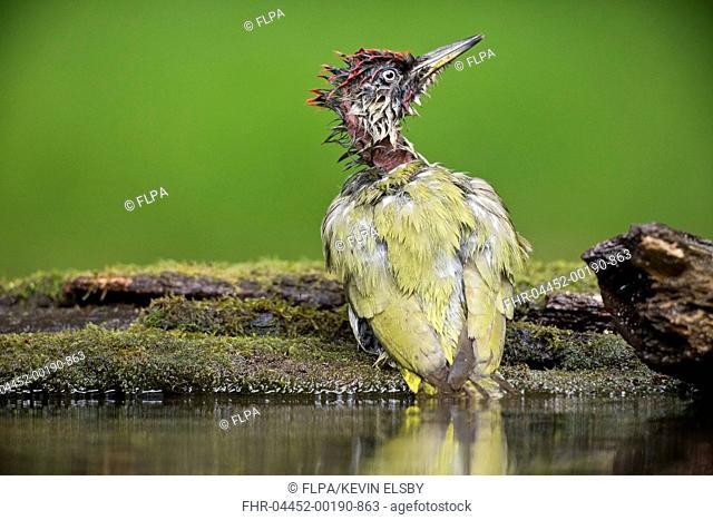 European Green Woodpecker (Picus viridis) adult male, bathing at pool in woodland, Debrecen, Hungary, April