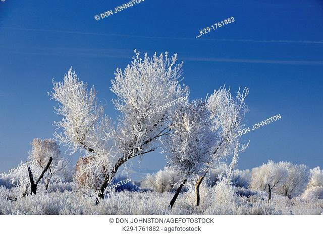 Hoarfrost on cottonwood trees, Bosque del Apache NWR, New Mexico, USA