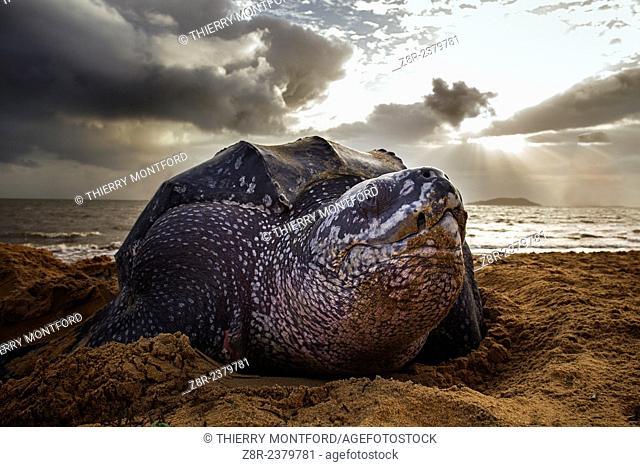 Dermochelys coriacea. Leatherback turtle on the beach. Rémire-Montjoly. Spawning. French Guiana