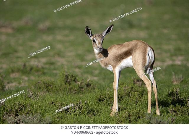 Springbok (Antodorcas marsupialis) - Lamb, Kgalagadi Transfrontier Park in rainy season, Kalhari Desert, South Africa/Botswana