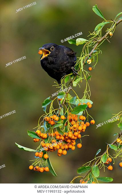 Blackbird - About to Swallow a Pyracantha Berry - Cornwall - UK