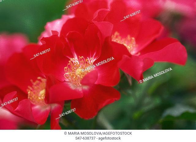 Pink Rose. Rosa hybrid 'Knockout'. May 2006, Maryland, USA