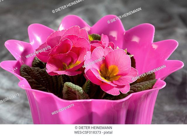 Pink primrose in pot, close up
