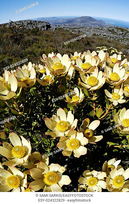 Protea shrub flowering on Table Mountain, Cape Town, Western Cape Province, South Africa