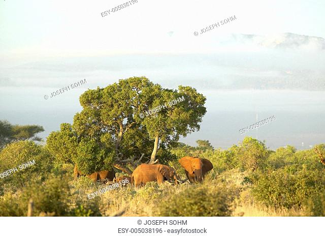 African Elephants taking a dust bath in Tsavo National Park, Kenya, Africa