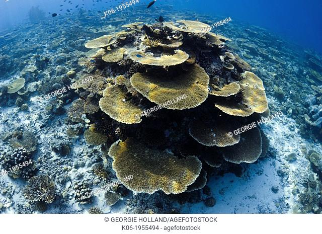 Sun dapple on table corals Acropora sp.) on shallow reef top. Maldives