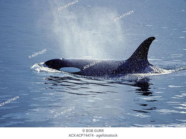 Orca (Orcinus orca) Adult (Killer Whale) Found from the frigid Arctic and Antarctic regions to tropical seas. Highly social with sophisticated hunting...