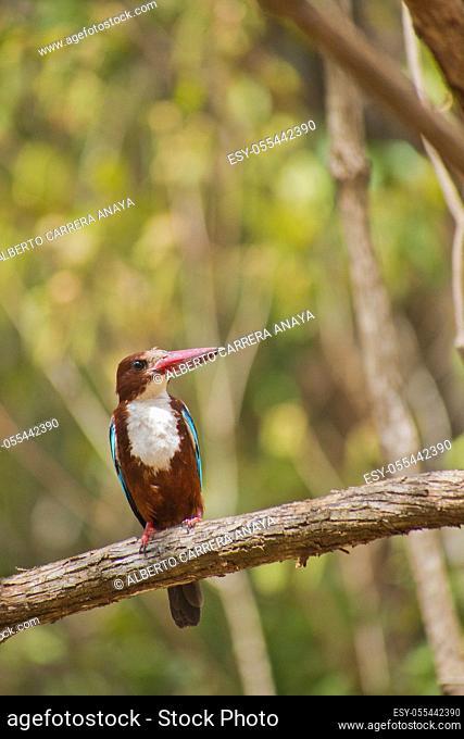 White-Throated Kingfisher, Halcyon smyrnenis, Wilpattu National Park, Sri Lanka, Asia