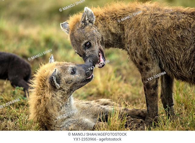 Male Hyena greeting female