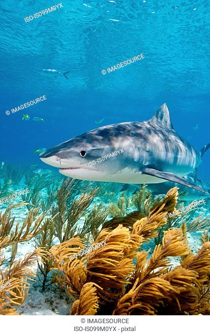 Tiger shark on the prowl