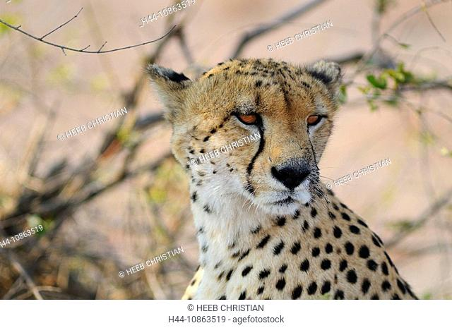 Cheetah, Acinonyx jubatus, Ulusaba Sir Richard Branson's Private Game Reserve, Sabi Sands Game Reserve, Mpumalanga, South Africa, portrait, face, head