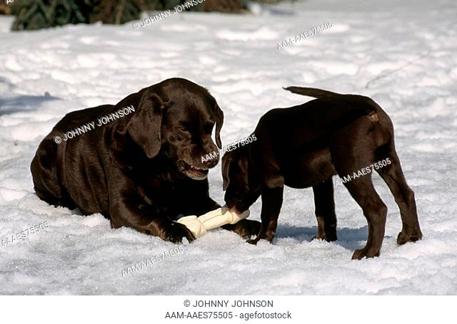 Mature dog growling, warns puppy not to take his bone (PR), twelve week old chocolate labrador retriever puppy with father
