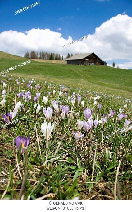 Italy, South Tyrol, Meadow saffron Colchicum autumnale abloom