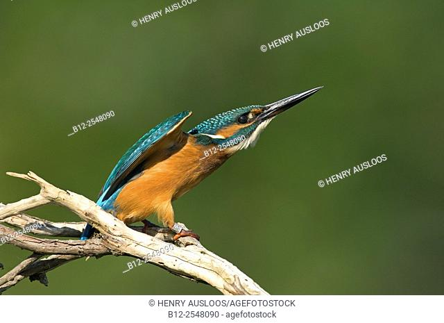 Common kingfisher (Alcedo atthis). France
