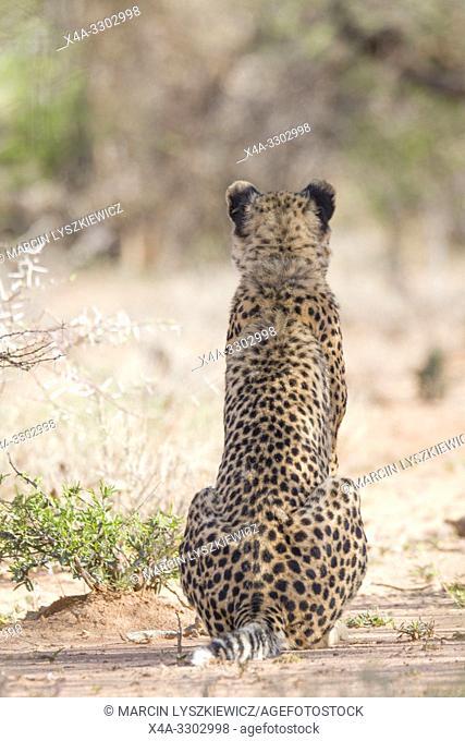 Portrait of sitting Cheetah, Okonjima Nature Reserve, Namibia