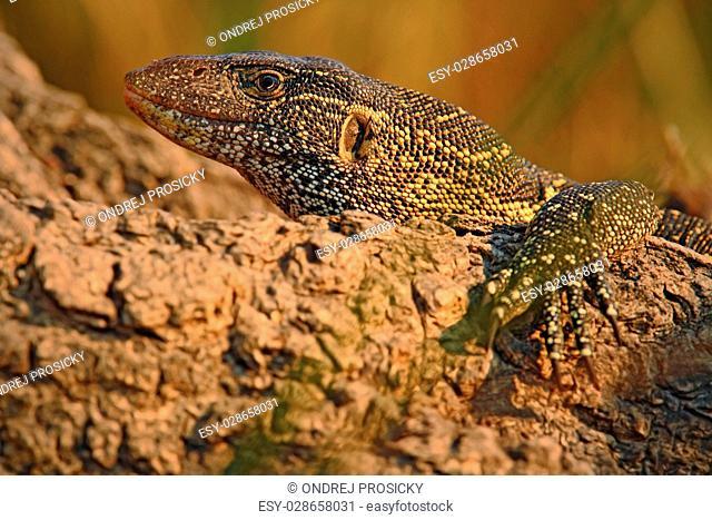 Nile Monitor, Varanus niloticus