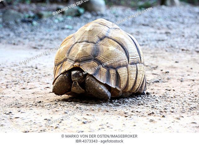 Malagasy Serrated tortoise (Astrochelys yniphora), Antananarivo, Central Madagascar, Madagascar