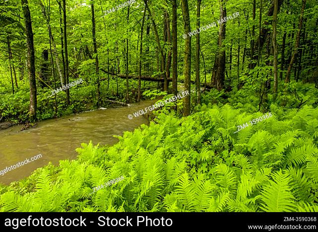 A small creek is running through a deciduous forest in Montebello in the Laurentians in Quebec Province, Canada