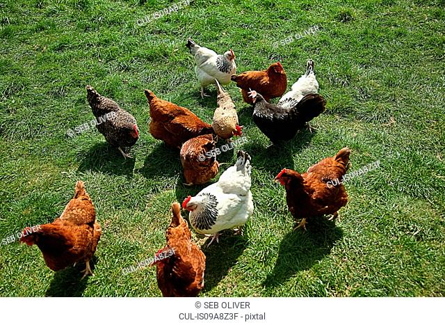 Elevated view of free range hens
