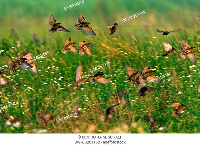 common starling (Sturnus vulgaris), flock landing in a meadow, Germany, Rhineland-Palatinate