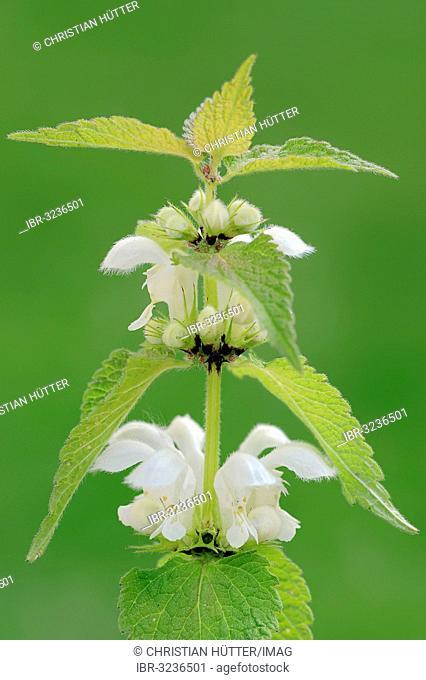 White nettle or white dead-nettle (Lamium album), stem with flowers