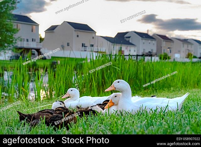 Close up of white ducks and brown ducklings on grassy terrain near a pond. Multi-storey homes with balconies and fences against cloudy sky can be seen in the...