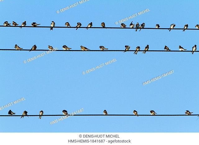 Kenya, lake Nakuru, swallows