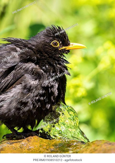 Common Blackbird, Turdus merula, male / Amsel, Turdus merula, Männchen