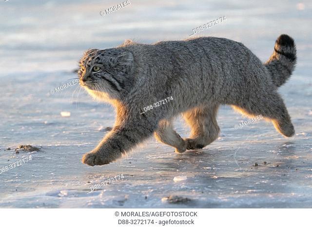 Asie, Mongolie, Est de la Mongolie, Steppe, Chat de Pallas Otocolobus manul), se déplace en marchant / Asia, Mongolia, East Mongolia, Steppe area