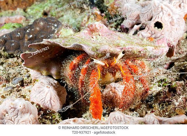Red Hermit Crab, Diogenidae, North Ari Atoll, Maldives