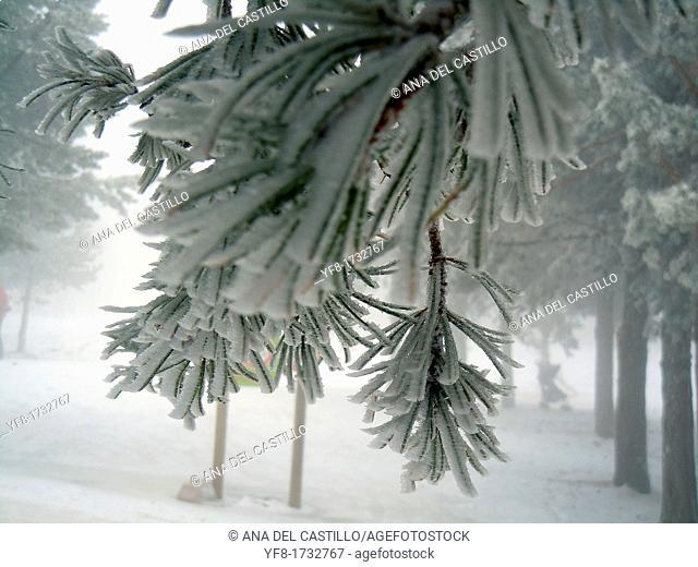 Trees in snow Teruel Spain