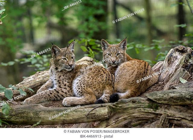 Eurasian lynxes (Lynx lynx) lying together between tree trunks, captive, Parc Animalier de Sainte-Croix, Rhodes, Moselle, Lorraine, France