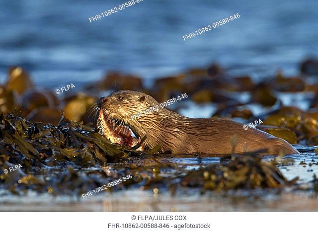 European Otter Lutra lutra adult female, carrying fish ashore, Isle of Mull, Inner Hebrides, Scotland, december
