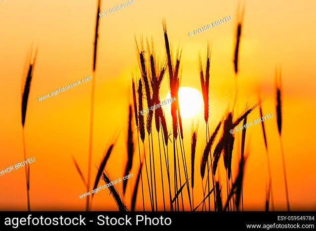 Summer Sun Shining Through Young Yellow Wheat Sprouts. Wheat Field In Sunset Sunrise Sun. Close up