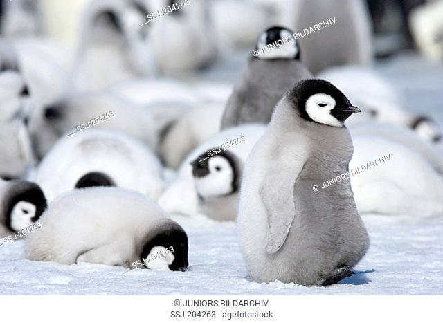 Emperor Penguin (Aptenodytes forsteri). Group of chicks standing and lying on ice. Snow Hill Island, Antarctica