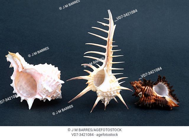 Three species of rock snails shells. From left to right Murex bicolor, Murex nigrospinosus and Murex brunens