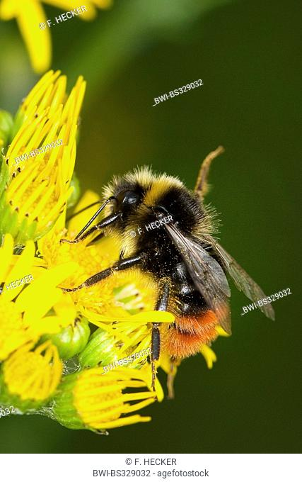 red-tailed bumble bee (Bombus lapidarius, Pyrobombus lapidarius, Aombus lapidarius), male visiting a ragwort flower, Germany
