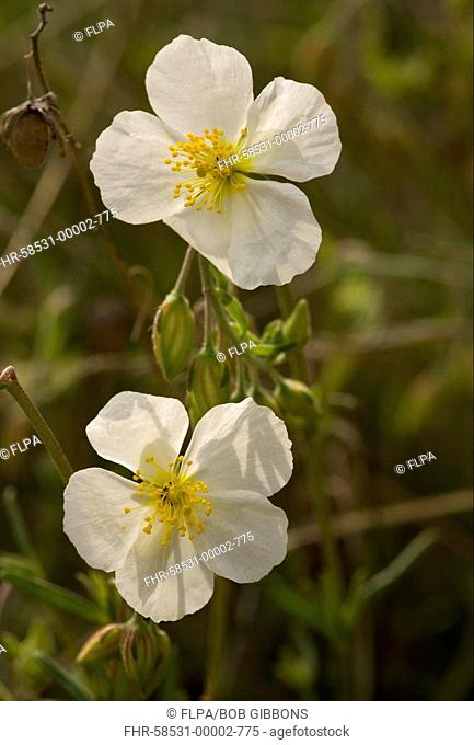 White Rock-rose Helianthemum apenninum close-up of flowers, France