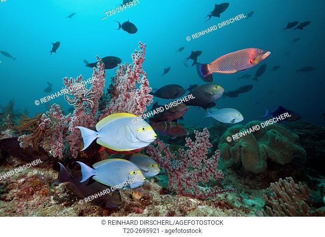 Elongate Surgeonfish in Coral Reef, Acanthurus mata, Raja Ampat, West Papua, Indonesia