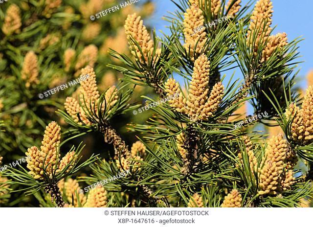 Dwarf mountain pine Pinus mugo