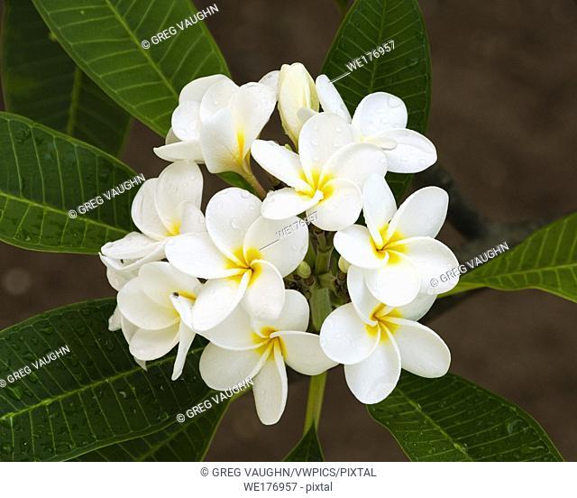 Frangipani tree blossoms; Magdalena Grand Beach Resort, Tobago island, Trinidad & Tobago