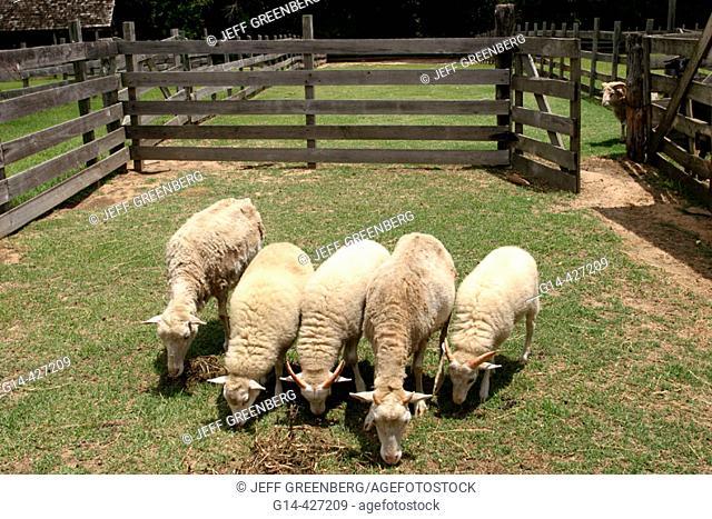 Landmark Park, Living History Farmstead c.1901, sheep. Dothan, Wiregrass Region. Alabama. USA