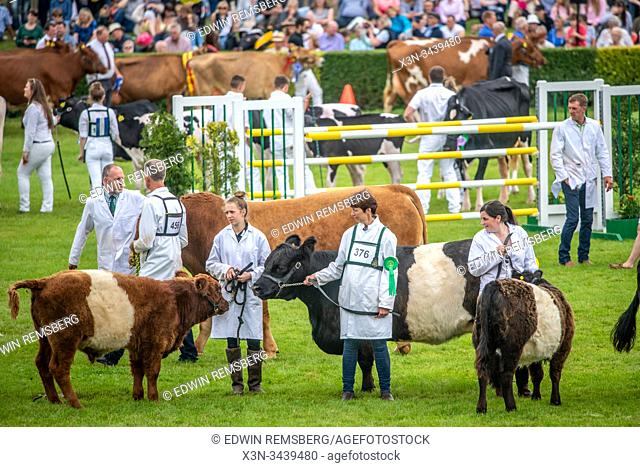 Different breeds of cattle are asked around the fairgrounds of the Great Yorkshire Show before receiving judging, Harrogate, Yorkshire, UK