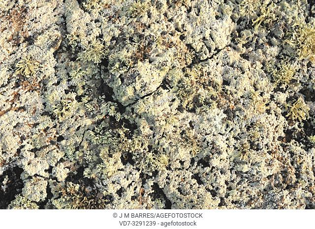 Lichen community dominated by Pertusaria rupicola (crustose) and Ramalina canariensis (fruticulose) growing on a volcanic rock
